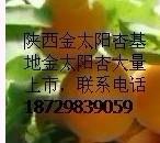 供应金太阳杏陕西金太阳杏价格金太阳杏基地,供应金太阳杏批发商
