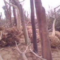 出售大径梧桐原木