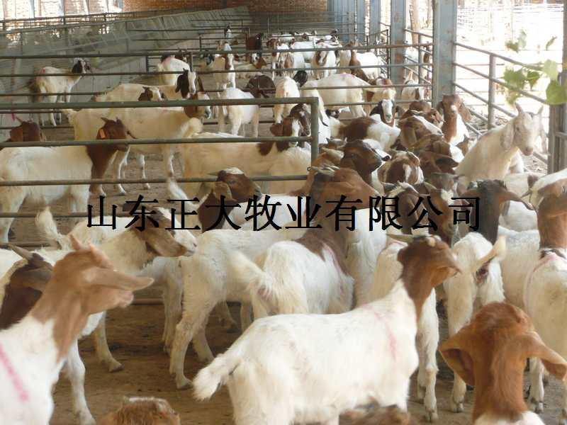 肉羊 养殖/供应山东济宁小尾寒羊养殖图片