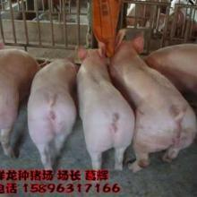 供应二元母猪价格