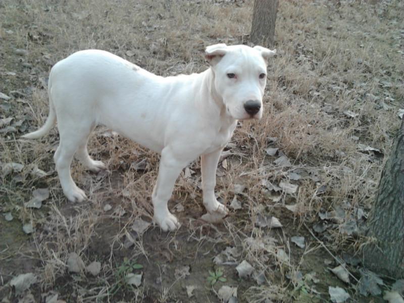 供应我要买阿根廷杜高犬