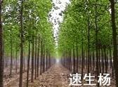直径1至8公分速生杨/中华红叶杨图片