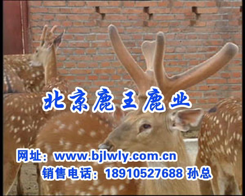 供应梅花鹿配种期的饲养管理技术
