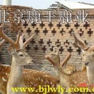 梅花鹿种鹿养殖视频饲养技术图片