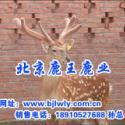 梅花鹿冬季恢复期/梅花鹿繁殖能力图片