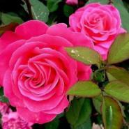 月季花苗月季花玫瑰花苗蔷薇花苗图片