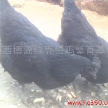 供应鸡苗出售纯种绿壳蛋鸡江西博源育种批发
