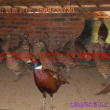 供应珍禽养殖种苗/原鸡/七彩山鸡/贵妃鸡批发