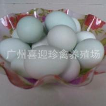 供应广西绿壳蛋鸡种苗五黑一绿鸡种苗批发