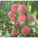 供应用于种植的山桃胡毛桃胡种籽市场