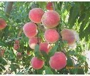 山桃胡毛桃胡种籽市场图片