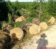 供应运城白皮松苗木,运城白皮松苗木供货商,运城白皮松苗木价格