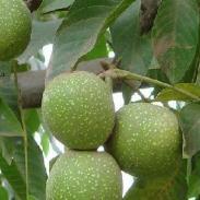 供应用于种植的山西纸皮核桃苗发展基地