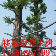 供应银杏树相关产品