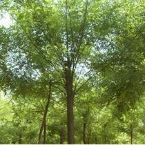 5公分国槐树多少钱一株图片