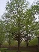 供应绿化用银杏树价格