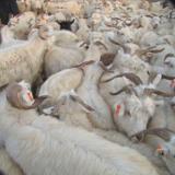 供应小尾寒羊种羊价格