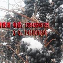 供应北冰红葡萄苗冰红葡萄苗(冬天不埋)孙广辉酒业批发