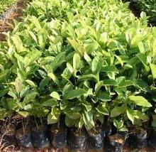 供应江西抚州楠木种苗种子大量供应批发——振兴农业有限公司批发