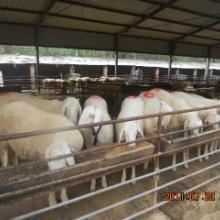 供应选纯种小尾寒羊价格到山东宏祥畜牧养殖场小尾寒羊价格批发