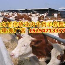 四川牛价钱四川哪里有出售小牛的图片