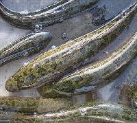 供应2012年生鱼苗