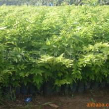 广西平南黄花梨树苗价格种植基地报价哪里有多少钱图片