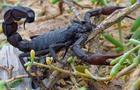 蝎子的药食功能