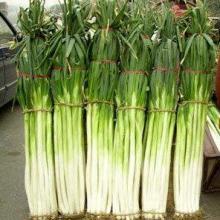 供应章丘大葱种子山东高产大葱种子价格蔬菜种子公司大葱栽培技批发