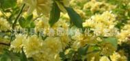 沭阳县富春园林绿化苗木场