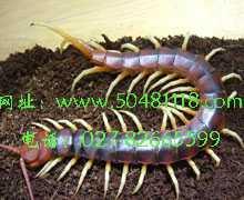 蜈蚣养殖业