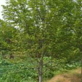 供应黄连木野生罗根树2到15公分低价供18737758154