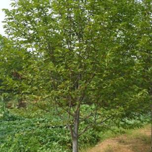 二乔玉兰5到25公分精品树形低价供图片