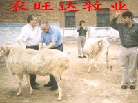 供应波尔山羊小尾寒羊小山羊批发