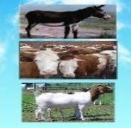羊的最新价格如何建设养羊场大型养图片