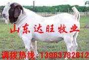 山东济南小驴驹价格提供鲁西黄牛价图片