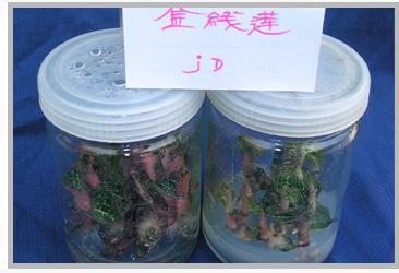 福建金线莲组织培养瓶生产厂家报价