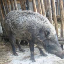 供应用于的河北野猪邯郸武安张家口养殖野猪批发