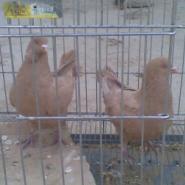 广东种鸽肉鸽乳鸽观赏鸽图片