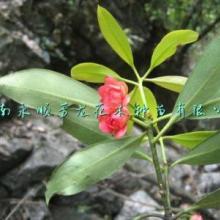 供应红茴香苗木