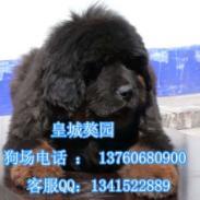 广州藏獒价格广州藏獒哪里有卖图片