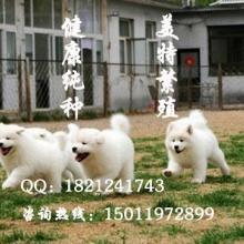 广州边度有狗买 广州哪里有卖萨摩耶 广州纯种萨摩耶幼犬出售 图片