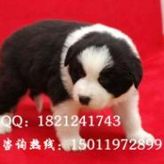 广州边境牧羊犬广州哪里有卖边牧图片