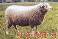 供应辽宁绒毛羊