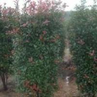 供应红叶石楠柱,最新稀少产品,大方得体,福建代理商