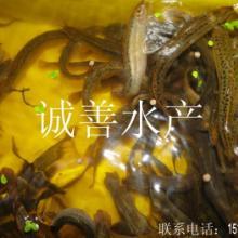 供应黄鳝养殖技术指导学习