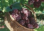 供應葡萄籽提取物原花青素主要应用