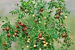 供應紫錐菊提取物金銀花提取物綠原酸