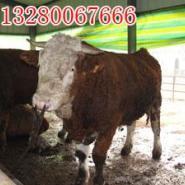 最近肉牛价格行情查询肉牛选种基地图片