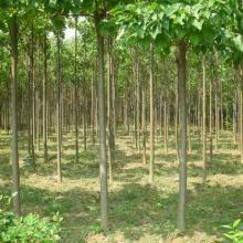 供应桉树河南桉树桉树价格桉树产地桉树规格桉树报价